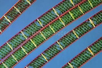 Spirogyra algae, light micrograph