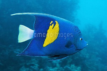 Yellowbar angelfish over a reef