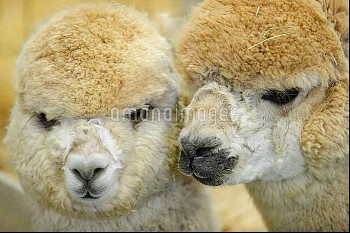 WA: Alpaca breeders attend 16th annual Alpacapalooza