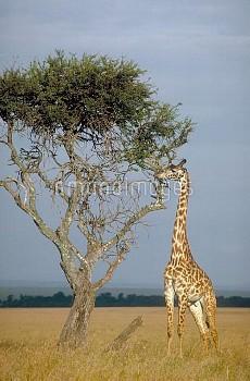 Masai giraffe (Giraffa camelopardalis tippelskirchi) eating, Masai Mara, Kenya, in August.