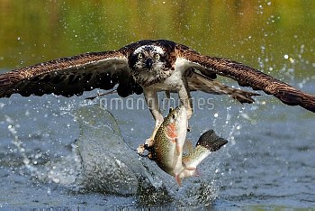 An osprey (Pandion haliaetus) grabbing a trout from a pond.