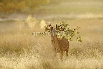 Red deer (Cervus elaphus) stag with an oak branch tangled in its antlers and steaming breath. Richmo