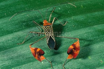 Flag-legged bug (Anisocelis flavolineata) with leaflike extensions on its hind legs, in the tropical