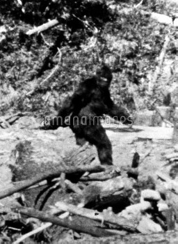 A frame from a movie film of Bigfoot taken by Roger Patterson, 20th October 1967 at Bluff Creek in n