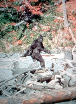 A frame from a cine film of Bigfoot, taken by Roger Patterson, 20 October 1967, at Bluff Creek, Nort