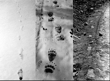 Comparison of footprints of human (left) bear (centre) and Bigfoot (right) Bigfoot, also called Sasq
