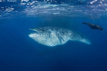 Hugh and Hungry - Stunning Images of monster whale up close and personal with Photograopher
