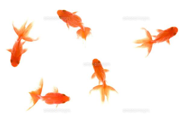 金魚07800011234の写真素材イラスト素材アマナイメージズ