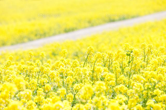 菜の花畑07800037142の写真素材イラスト素材アマナイメージズ