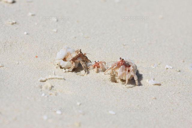 モルディブのビーチを散歩するヤドカリの親子3匹09521000616の写真素材