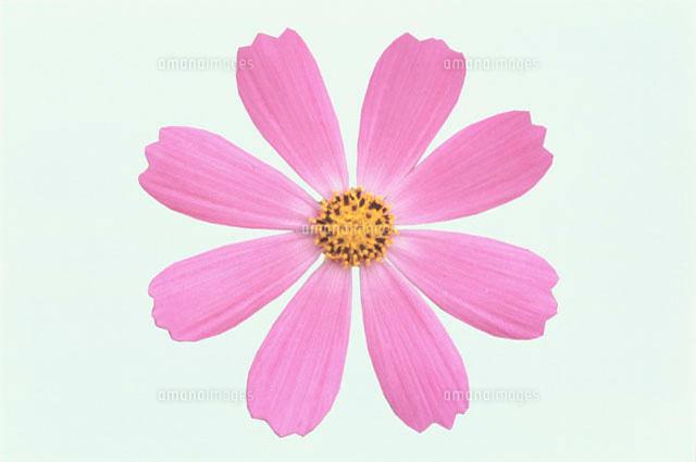 一輪のピンクのコスモス10120000665の写真素材イラスト素材アマナ