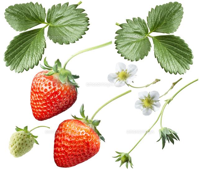 いちごとイチゴの葉っぱと苺の花10132110825の写真素材
