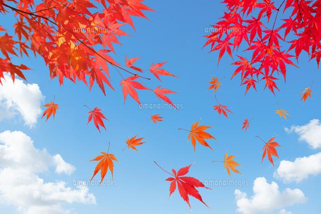 紅葉の背景素材10132113175の写真素材イラスト素材アマナイメージズ