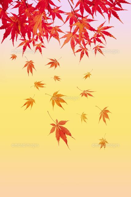 紅葉の背景素材10132113238の写真素材イラスト素材アマナイメージズ