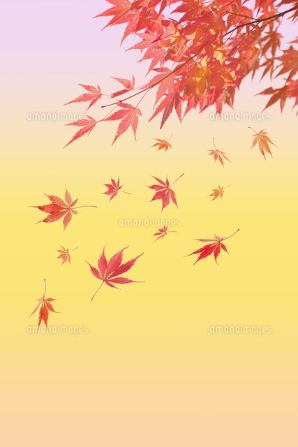 紅葉の背景素材10132113240の写真素材イラスト素材アマナイメージズ