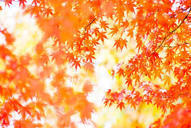 艶やかなもみじの風景10143000686の写真素材イラスト素材アマナ