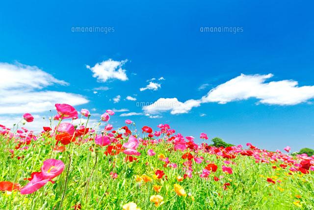 ピンクのポピーが咲く春の花畑と青空10146001029の写真素材イラスト
