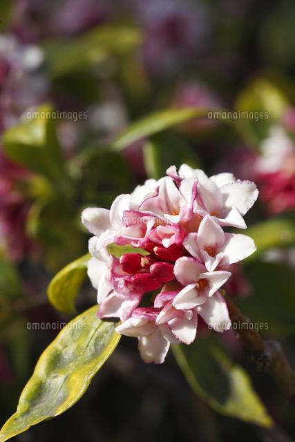 ジンチョウゲ沈丁花10157001669の写真素材イラスト素材アマナ