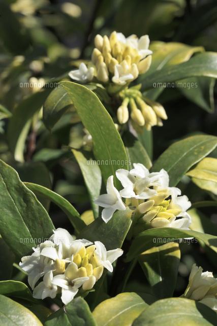 ジンチョウゲ沈丁花10157001672の写真素材イラスト素材アマナ