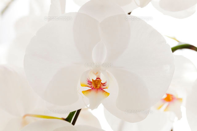 胡蝶蘭の花アップ10158001658の写真素材イラスト素材アマナイメージズ