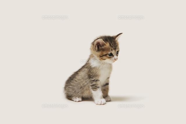 お座りする子猫10168003081の写真素材イラスト素材アマナイメージズ
