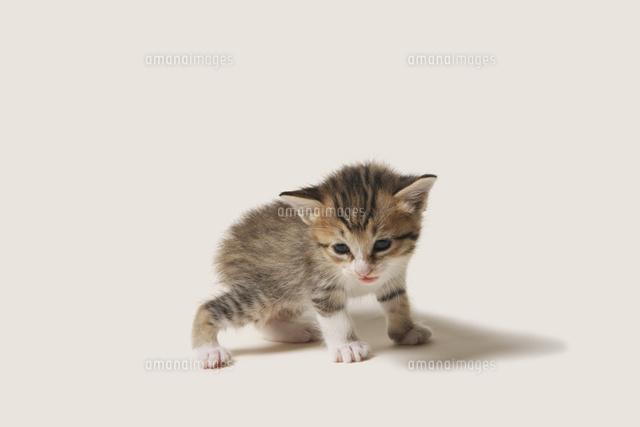 ヨチヨチ歩きの子猫10168003216の写真素材イラスト素材アマナ