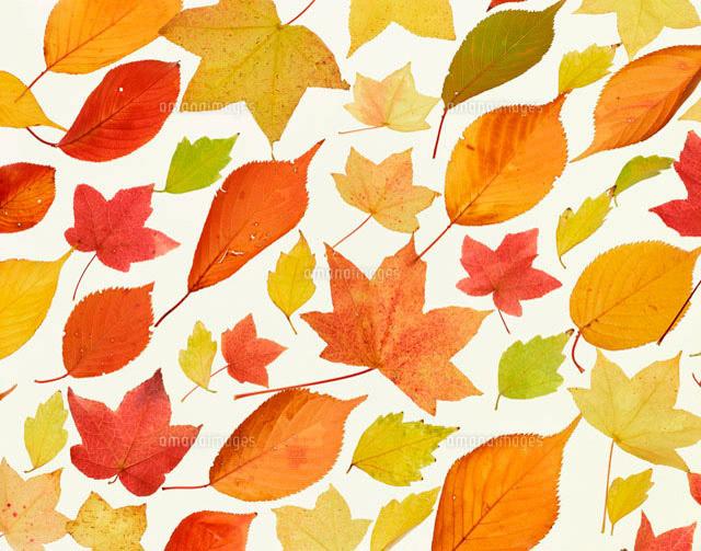 いろいろな落葉 10173001989 の写真素材 イラスト素材 アマナイメージズ