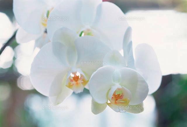 胡蝶蘭10173002153の写真素材イラスト素材アマナイメージズ