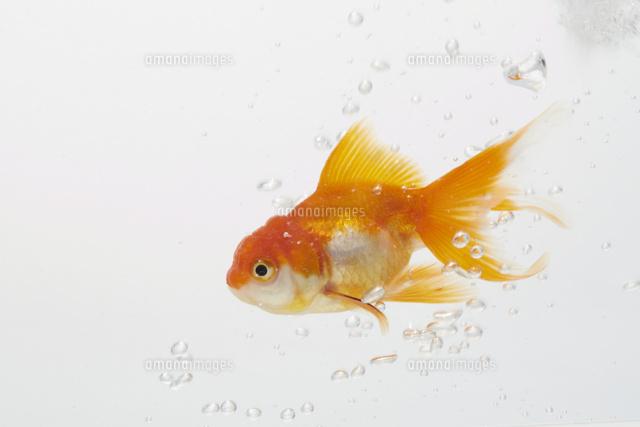 水槽で泳ぐ金魚10179007099の写真素材イラスト素材アマナイメージズ