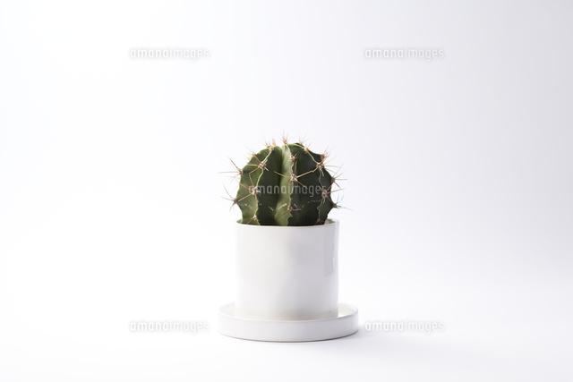 鉢植えのサボテン10179008092の写真素材イラスト素材アマナイメージズ