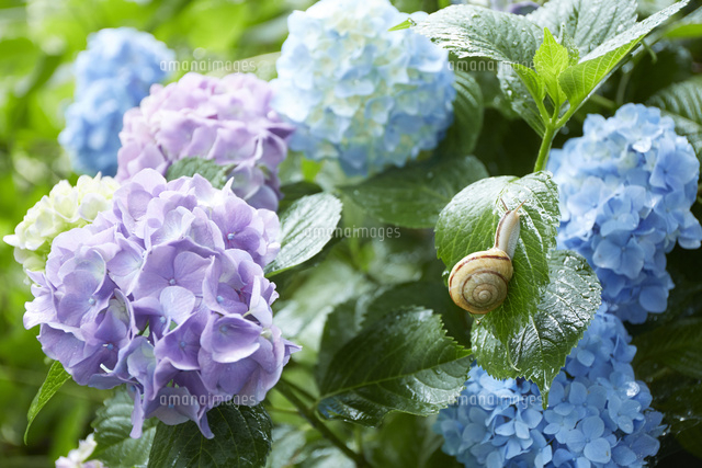 紫陽花とカタツムリ10179011214の写真素材イラスト素材アマナ