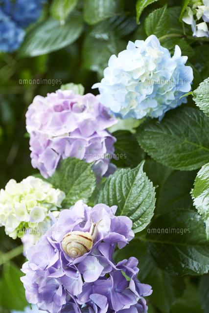 紫陽花とカタツムリ10179011217の写真素材イラスト素材アマナ