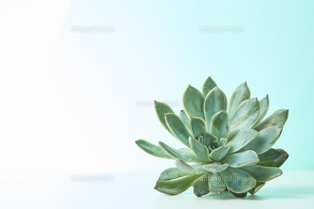 白の背景と多肉植物10179011942の写真素材イラスト素材アマナ