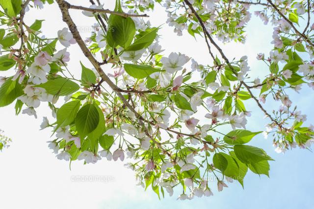 葉桜[10206001463]の写真素材・イラスト素材|アマナイメージズ