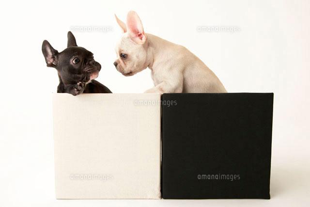 白と黒のフレンチブルドック10230000161の写真素材イラスト素材