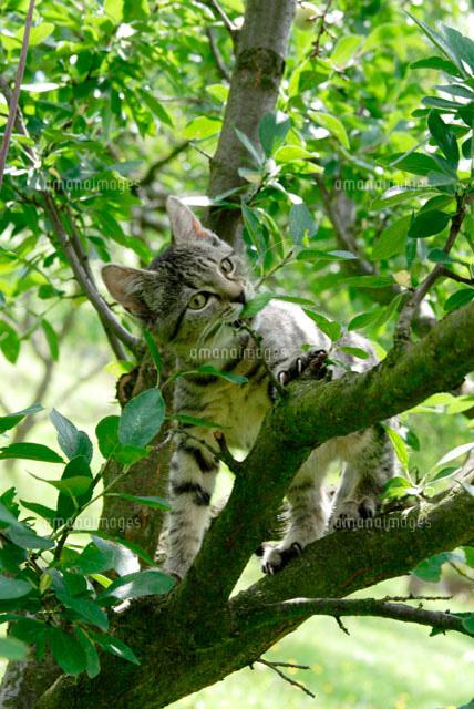 木登りする猫10244000650の写真素材イラスト素材アマナイメージズ