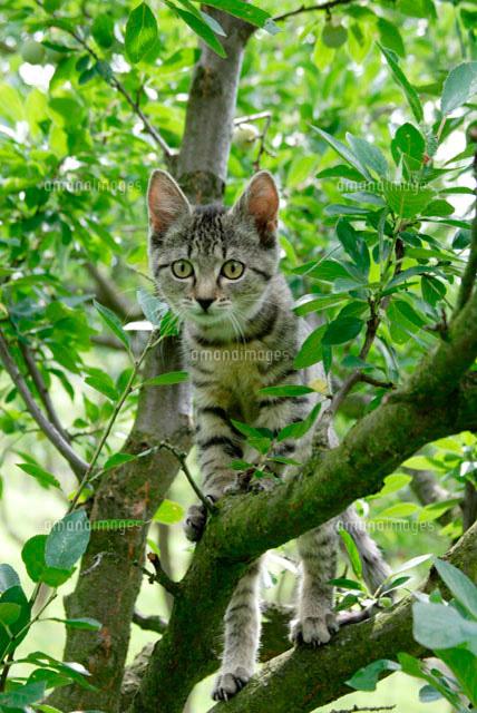 木登りする猫10244000651の写真素材イラスト素材アマナイメージズ