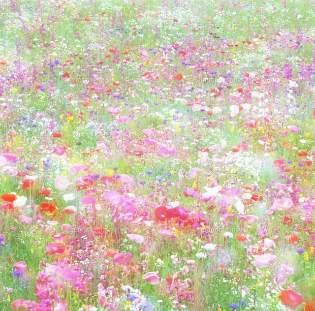 ポピーとかすみ草などの花畑10247007323の写真素材イラスト素材