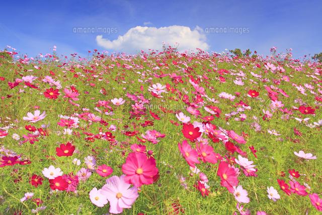 花竜の道のコスモス畑と象の形の雲 の写真素材 イラスト素材 アマナイメージズ