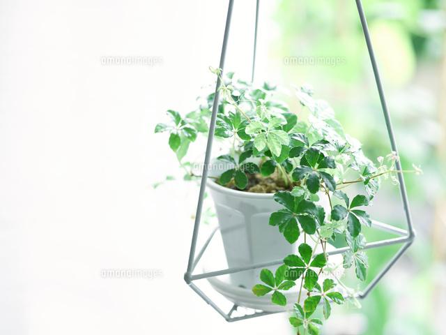 観葉植物10331001543の写真素材イラスト素材アマナイメージズ