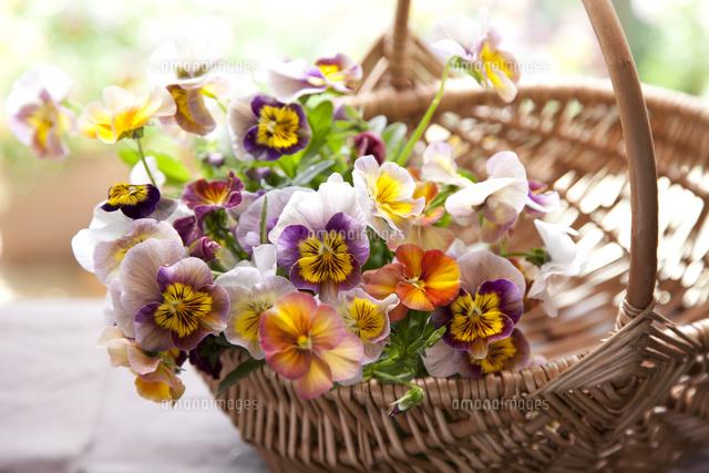 パンジーの花かご10338000095の写真素材イラスト素材アマナイメージズ
