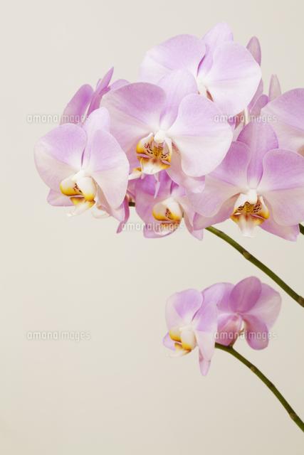胡蝶蘭10610001389の写真素材イラスト素材アマナイメージズ