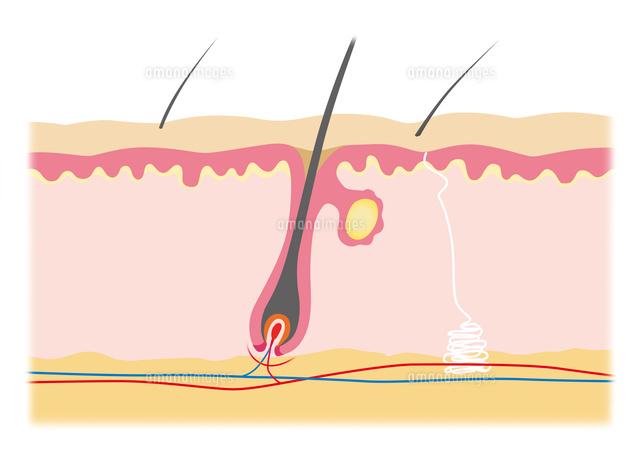 肌構造図 イラスト10671000019の写真素材イラスト素材アマナイメージズ