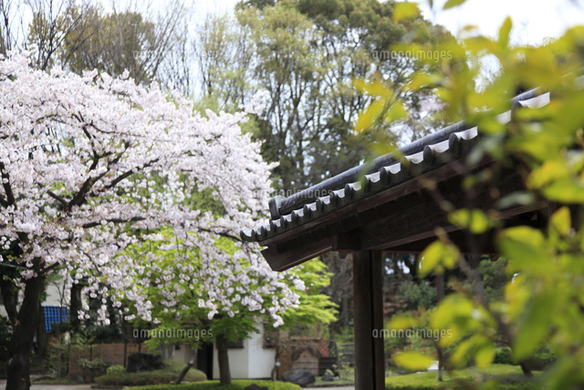 戸越公園 桜