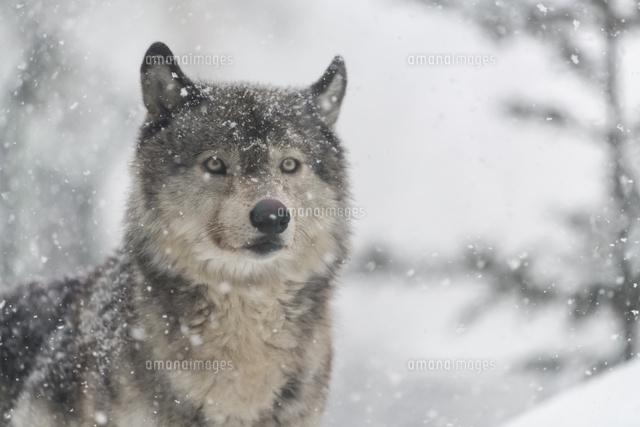 オオカミ10920000386の写真素材イラスト素材アマナイメージズ