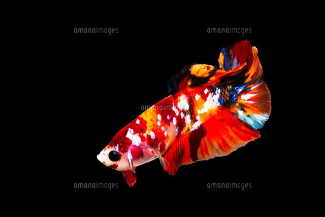 鯉ベタ キャンディーニモ10920000699の写真素材イラスト素材アマナ