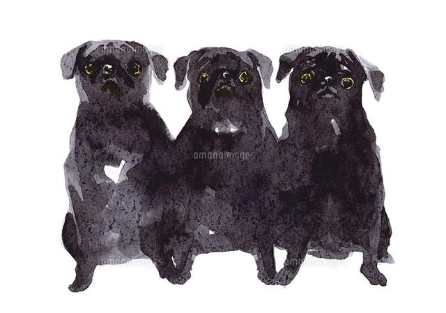 3匹の黒パグ10933000028の写真素材イラスト素材アマナイメージズ