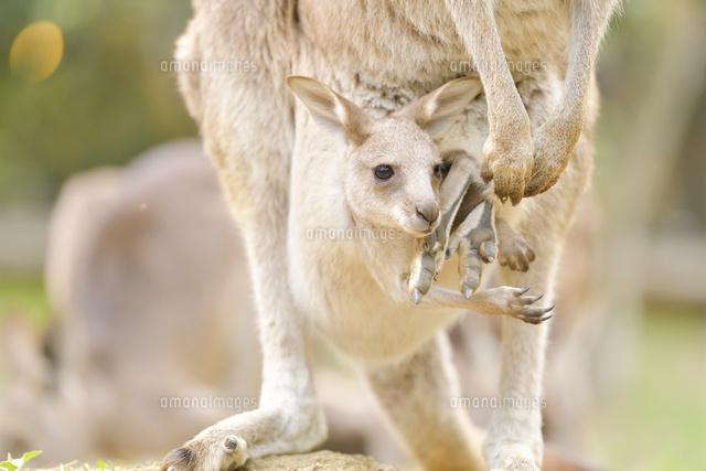 カンガルー の 赤ちゃん