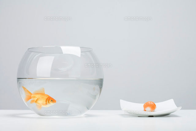 Goldfish in bowl beside single piece of salmon nigiri sushi