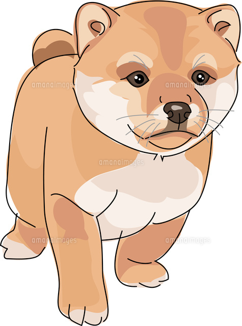 犬 柴犬 赤11002068623の写真素材イラスト素材アマナイメージズ